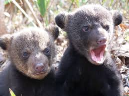 Bear cubs talking.